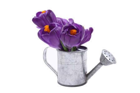 close-ups of lovely crocuses in watering-can isolated on white
