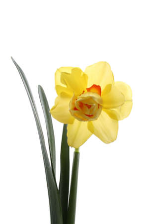 lovely yellow daffodil isolated on white Stock Photo - 831685