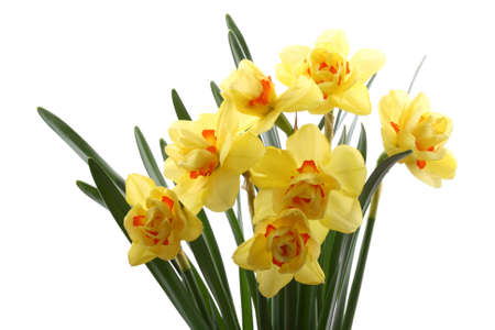 close-ups of lovely yellow daffodils isolated on white Stock Photo - 831684