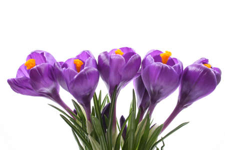 close-ups of lovely crocuses isolated on white Stock Photo - 898312