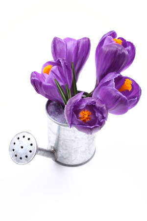 wateringcan: close-ups of lovely crocuses in watering-can isolated on white