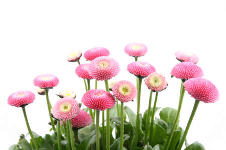 close-ups of pink daisy flowers isolated on white Stock Photo - 898320