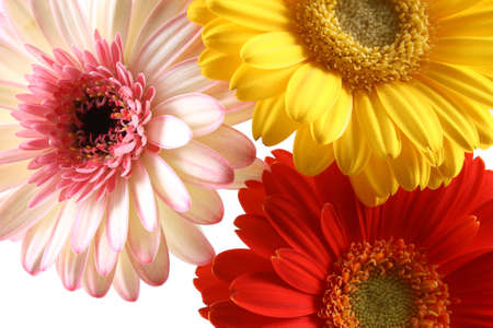 three lovely bright gerbera isolated on white Stock Photo