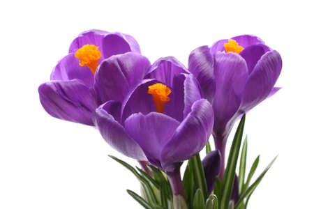close-ups of lovely crocuses isolated on white