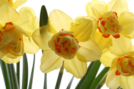 closeups: close-ups of lovely yellow daffodils isolated on white
