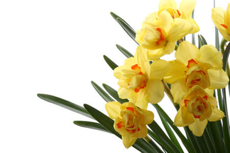 close-ups of lovely yellow daffodils isolated on white