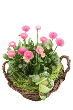 pink daisy: lovely basket full of pink daisy flowers isolated on white