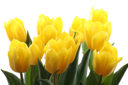 lovely bunch of yellow tulips isolated on white Stock Photo