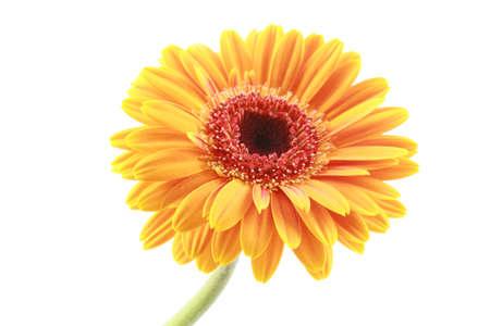 gerbera daisy: close-ups of pretty bright gerbera flower isolated on white Stock Photo
