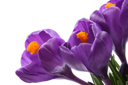 close-ups of lovely crocuses isolated on white Stock Photo - 961579