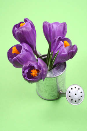 wateringcan: close-ups of lovely crocuses in watering-can isolated on green