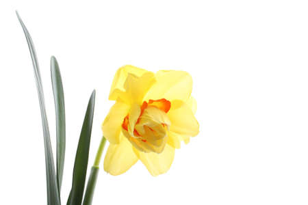 close-ups of lovely daffodil isolated on white Stock Photo - 961809