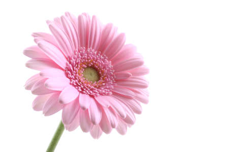 lovely pink gerbera isolated on white