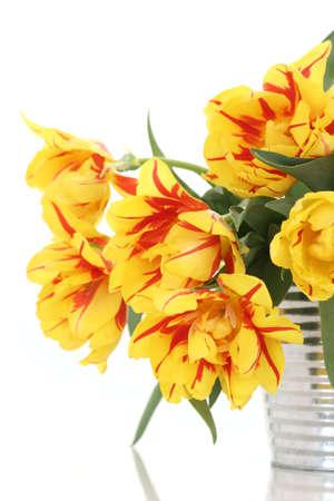 bucket full of yelow tulips on white background photo