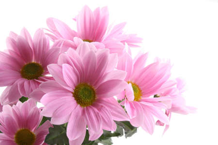 pink daisy: pink daisy flowers isolated on white - close-ups Stock Photo
