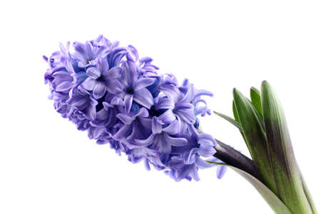 purple hyacinth isolated on white - seasonal flower photo