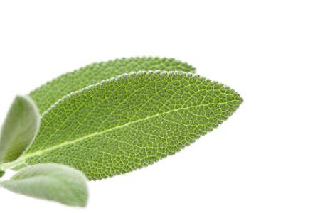 closeups: close-ups of fresh sage - herb isolated on white Stock Photo