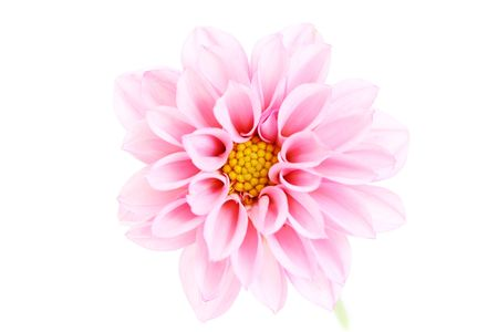close-ups of pink dahlia isolated on white - flowers and plants photo