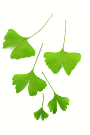 bitkisel ilaç: close-ups of ginko leaves on white - herbal medicine