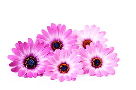 gerber: five beautiful pink flowers on white background Stock Photo