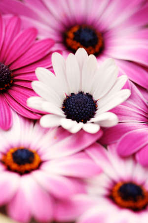 background of beautiful pink and white flowers photo