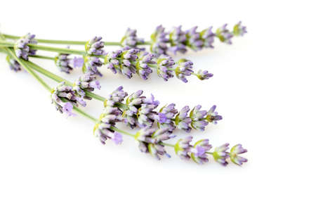 lavender coloured: bunch of lawender flowers on white background