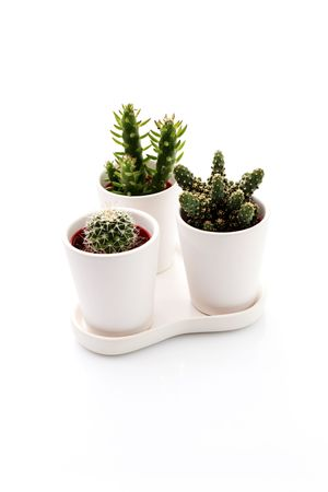 three different cactus on white background - flowers and plants photo
