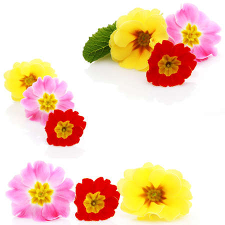 three different primula flowers on white - flowers and plants photo