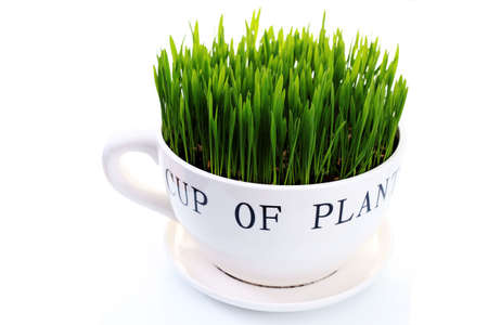 green grass in big cup on white background - flowers and plants photo