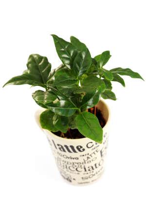 planta de cafe: planta de caf� en la taza sobre blanco - flores y plantas