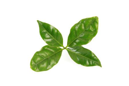 planta de cafe: caf� deja sobre fondo blanco - flores y plantas