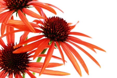 echinacea flowers on white background - flowers and plants photo