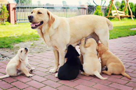 golden retriever puppy: mother with her puppy - animals