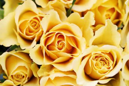 rosas amarillas: ramo de hermosas rosas amarillas - flores y plantas Foto de archivo