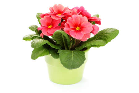 potted plant: lovely primula on white background - flowers and plants