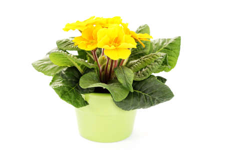primula: lovely primula on white background - flowers and plants