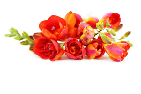freesia: bunch of lovely freesia on white background - flowers and plants