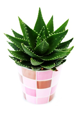 close-ups of aloe vera plant on white background - flowers and plants
