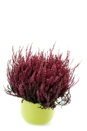 green pot of heather on white background - flowers and plants photo