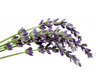 lavender flowers on white background - flowers and plants Zdjęcie Seryjne - 9821701