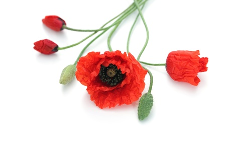 corn flower: red poppies on white background - flowers and plants