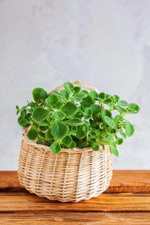 pot of cuban oregano in basket - spices and herbs Zdjęcie Seryjne