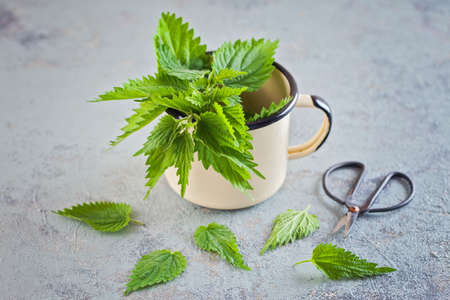fresh nettle urtica ready to use - alternaticve medicine Banque d'images - 100995544