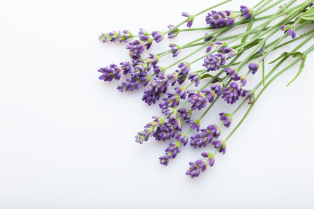 lavender on white background - flowers and plants Stock Photo