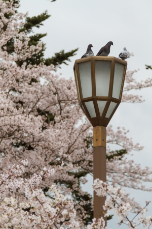 Pigeons on lamp post with sakura background in Osaka Castle Park, Japan photo