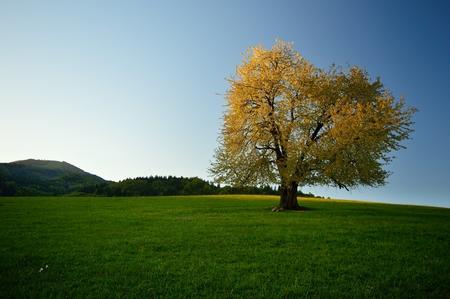 Single spring cherry tree on meadow