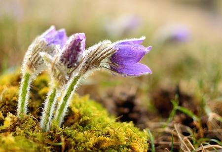 pulsatilla: Beautiful spring pulsatilla flowers with purple petals