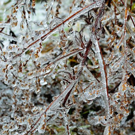 ice storm: Frozen branch after ice storm. Winter icy weather. Cold crystal detail. Ice coated plant.