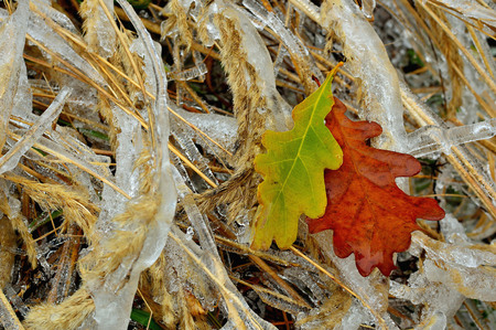 ice storm: Frozen grass and oak leaf after ice storm. Winter icy weather. Cold crystal detail. Ice coated plant.