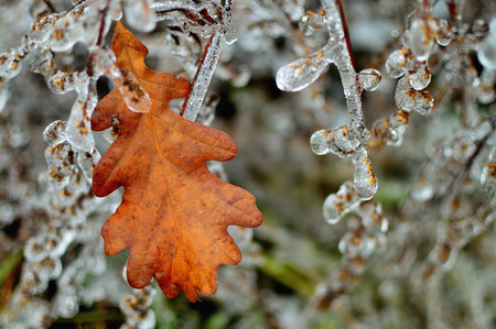 ice storm: Frozen branch and oak leaf after ice storm. Winter icy weather. Cold crystal detail. Ice coated plant.